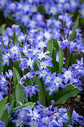 Chionodoxa forbesii 'Blue Giant' syn. Scilla 'Blue Giant' - Glory of the Snow.