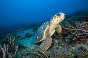 A Loggerhead Sea Turtle, Caretta caretta, rests on a coral reef offshore Palm Beach, Florida, United States.