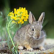 Mountain Cottontail, (Sylvilagus nuttalli) Portrait of bunny near Mountain Wallflower.Spring. Montana.  Captive Animal.