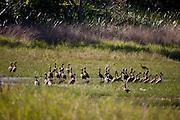 Aquidauana_MS, Brasil...Aves proximo a um lago da fazenda Rio Negro no Pantanal...The birds next to a lake in the Rio Negro farm in Pantanal...Foto: JOAO MARCOS ROSA / NITRO