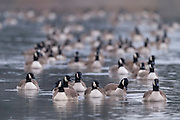 A large flock of Canada geese (Branta canadensis) float on the Snohomish River near Kenmore, Washington.