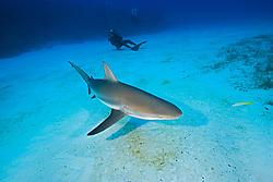 Caribbean Reef Shark, Carcharhinus perezii, and scuba divers, West End, Grand Bahamas, Atlantic Ocean