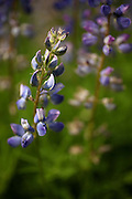 Lupine blooms on the trail to Easy Pass in North Cascades National Park. (Erika Schultz / The Seattle Times)