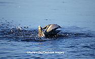 00672-00502 Brown Pelican (Pelecanus occidentalis) feeding J.N. Ding Darling NWR   FL