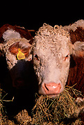 A87CK0 Hereford cow eating hay