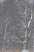 Oak (Quercus robur), Bialowieza forest, Poland. February 2009