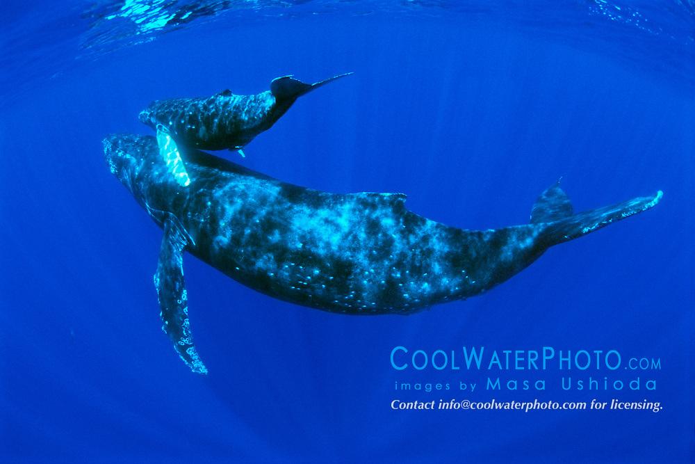 humpback whales, mother and calf, Megaptera novaeangliae, Hawaii, Pacific Ocean