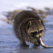 Raccoon, (Procyon lotor) Feeding on trout in river. Captive Animal.