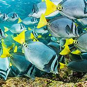 A school of razor surgeonfish (Prionurus laticlavius) feeding on algae growing on volcanic rock. Rabida Island, Galapagos, Ecuador.