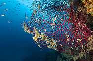 Gorgonian-Gorgone rouge (Gorgonacea) of mediterranean sea.
