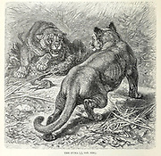 The Puma Puma is a genus in the family Felidae that contains the cougar (also known as the puma and mountain lion, among other names), From the book ' Royal Natural History ' Volume 1 Section II Edited by  Richard Lydekker, Published in London by Frederick Warne & Co in 1893-1894