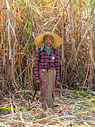 Sugar Cane workers in the fields of Maing Thauk Village, Nyaung Shwe, Inle Lake, Myanmar