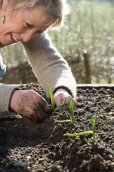 Carol Klein planting out garlic. Planting on ridges