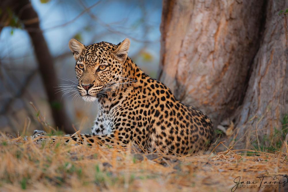 A leopard (Panthera pardus) resting beneath a tree at dusk, Chobe National Park, Botswana, Africa
