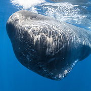 An enormous mature bull sperm whale (Physeter macrocephalus) approaching 20m in length. This imposing bull approached to within two to three meters from me. At this proximity, the whale clanged loudly, which caused my ear canals to clear, as if I had executed a Valsalva maneuver. The mature male was associated with a group of females, at one point surfacing adjacent to a mature female. The male easily exceeded 1.5x the length of the female. Note the substantial scarring on the whale's forehead, likely indicative of interactions with other males.