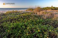 Dune sunflowers and sea oats along Sanibel Island beach in Florida, USA