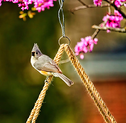 Tufted Titmouse hanging out just swining on the brid feeder.