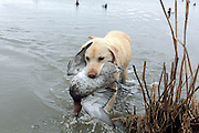 Yellow Labrador retriever bringing back a drake Canvasback