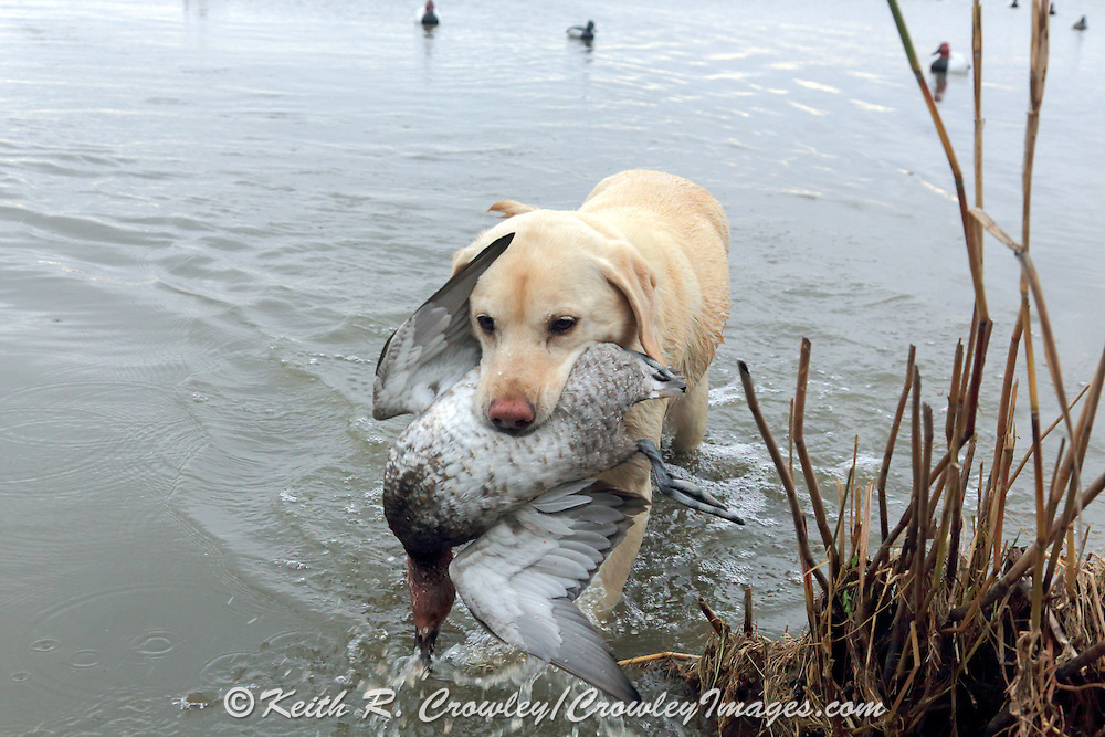 Yellow Labrador retriever bringing back a drake Canvasback