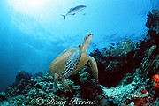 """green sea turtle, Chelonia mydas, at cleaning station floats in """"clean me"""" posture (neck stretched) to attract cleaner fish Sipadan Island, off Borneo, Sabah, Malaysia ( Celebes Sea / Western Pacific Ocean )"""