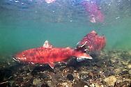Chinook Salmon Spawning<br /> <br /> Patrick Clayton/Engbretson Underwater Photography