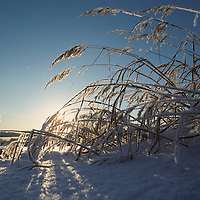 Europe, Norway, Frost-covered grass in winter sun near the arctic town of Kirkennes in early November