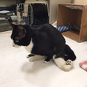 """Handicapped Cat cant find a new home<br /> <br /> A loveable handicapped cat is bunking down at the MSPCA-Angell in Boston and staffers are hoping to identify one special adopter to bring him home, the organization announced today.<br />  <br /> Ten-month-old """"Ivan"""" was born without radial bones in his front legs and is also missing two toes on each front paw.  His left hind leg is also deformed, making it impossible for him to walk normally.<br />  <br /> Despite living in the adoption center for two weeks after his previous owner surrendered him, no one has shown interest in the green-eyed charmer.<br />  <br /> MSPCA-Angell adoption center manager Alyssa Krieger believes Ivan is just as deserving as any other cat, however.  """"What Ivan lacks in mobility he more than makes up for in personality,"""" she said of the cat who loves to be held and petted. <br />  <br /> Krieger hopes Ivan's story will inspire an individual or family to come by the adoption center to meet him in person during open hours. """"His physical limitations will always be there—so we're looking for the adopter who can see through that and give him the second chance he deserves,"""" said Krieger.<br />  <br /> Rare Deformity<br /> Compounding Ivan's physical challenges is his tendency to not use the litterbox each and every time.  Would-be adopters will need to arrange their home around his needs, which include hard surfaces that can be cleaned easily but also runners and carpets so that he can """"army crawl"""" his way about, as moving across hard surfaces is difficult for him. <br /> Anyone interested in adopted Ivan can contact the MSPCA's Boston <br /> <br /> adoption center directly at adoption@mspca.org<br /> ©mspca/Exclusivepix Media"""