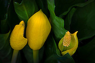 Skunk Cabbage flowers and leaves (Lysichitum americanum)
