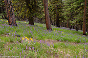 The lupines with a few balsamroots cover the grounds under the pines and Douglas firss