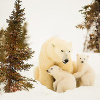 Three-month- old polar bear cubs keeping close to their mother in Wapusk National Park south of Churchill Manitoba Canada near the Hudson Bay.