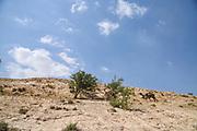 Dromedary or Arabian Camel (Camelus dromedarius) Photographed in the Negev Desert, Israel