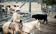 PRICE CHAMBERS / NEWS&GUIDE<br /> Chase Lockhart takes a head count after the family herds their steers into a corral on Friday.