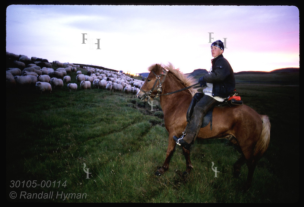 Purple evening sky frames David Oskarsson, 15, on horse as sheep march past in roundup; Klaustur. Iceland