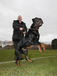 © Licensed to London News Pictures . 13/11/2012 . Manchester , UK . Joe Flood with 18 month old Rottweiler , Buster . Specialist handlers from Greater Manchester Police put police dogs through their paces at a training event . Greater Manchester Police are appealing for members of the public to donate unwanted dogs to the force . Photo credit : Joel Goodman/LNP