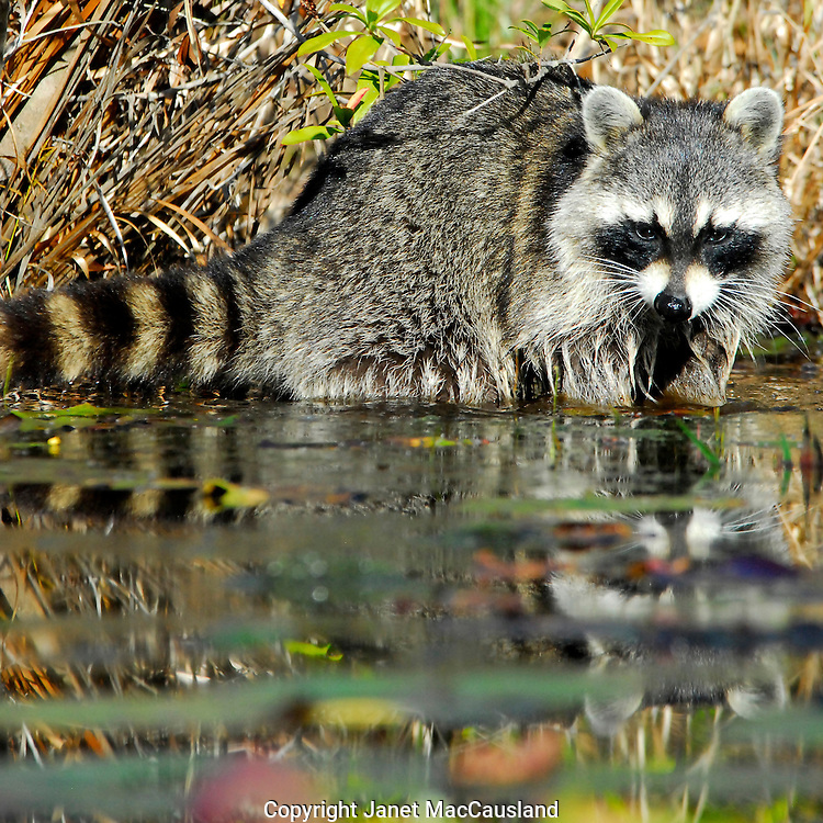 A Racoon (genus Procyon) is digging for clams, crawfish or whatever is edible in the river in the Okefenokee. they are omnivores. They will wet their food to augment their poor saliva production. He is with another racoon nearby (unposted images).