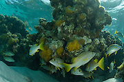 French Grunt (Haemulon flavolineatum)<br /> Halfmoon Caye, Lighthouse Reef Atoll<br /> Belize<br /> Central America