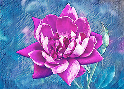 A traced pink rose from the garden with a blue scratched background texture.