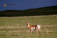 Pronghorn antelope in late light near Augusta, Montana, USA