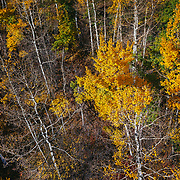 An aerial perspective of an aspen forest during peak autumn colors near downtown Aspen, Colorado.
