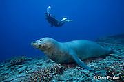 scuba diver and Hawaiian monk seal, Monachus schauinslandi, male ( critically endangered species ), Lehua Rock, near Niihau, off Kauai, Hawaiian Islands, USA ( Central Pacific Ocean ) MR 387
