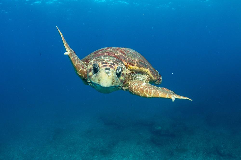 A loggerhead sea turtle (Caretta caretta) male during breeding season in The Bahamas.