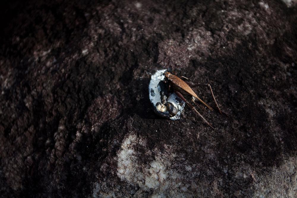 Sao Goncalo do Rio Preto_MG, Brasil...Parque Estadual do Rio Preto, em Sao Goncalo do Rio Preto, Minas Gerais. Na foto um grilo...The Rio Preto State Park, in Sao Goncalo do Rio Preto, Minas Gerais. In this photo cricket insect...Foto: LEO DRUMOND / NITRO
