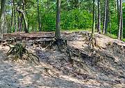 Las w Mikoszewie.