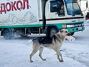 Jakutsk/Russische Foederation, RUS, 22.11.07: Obdachloser Hund mit einer Tetra Pak Verpackung bei -30 Grad Celsius im Zentrum von Jakutsk. Jakutsk hat 236.000 Einwohner (2005) und ist Hauptstadt der Teilrepublik Sacha (auch Jakutien genannt) im Foederationskreis Russisch-Fernost und liegt am Fluss Lena. Jakutsk ist im Winter eine der kaeltesten Grossstaedte weltweit mit durchschnittlichen Winter Temperaturen von -40.9 Grad Celsius. Die Stadt ist nicht weit entfernt von Oimjakon, dem Kaeltepol der bewohnten Gebiete der Erde.Die Stadt ist nicht weit entfernt von Oimjakon, dem Kaeltepol der bewohnten Gebiete der Erde.  Yakutsk/Russian Federation, RUS, 22.11.07: Homeless dog with a Tetra Pak package during -30 degrees celsius looking for food in the center of Yakutsk. Yakutsk is a city in the Russian Far East, located about 4 degrees (450 km) below the Arctic Circle. It is the capital of the Sakha (Yakutia) Republic (formerly the Yakut Autonomous Soviet Socialist Republic), Russia and a major port on the Lena River. Yakutsk is one of the coldest cities on earth, with winter temperatures averaging -40.9 degrees Celsius.  [(c) Bjoern Steinz, Vojanova 1408/28, 229 22 Lysa nad Labem, Tschechische Republik, phone +420 325551336, mobil +420 777 218 029, steinz@oka2.com, Bank: F r a n k f u r t e r  V o l k s b a n k     BLZ 50190000 Konto 0301951710 IBAN DE06501900000301951710 BIC FFVBDEFF, www.oka2.com, www.bsteinz.de. Bei Verwendung des Fotos ausserhalb journalistischer Zwecke bitte Ruecksprache mit dem Fotograf halten. Jegliche Verwendung nur gegen Beleg und Honorar nach MFM oder gesonderter Absprache, Publication only with royalty payment, credit line and print sample, Achtung: NO MODEL RELEASE]..[#0,26,121#]