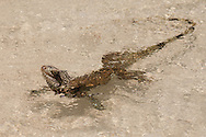 Although unexpected the Green Iguana (Iguana iguana) sometimes likes to take a swim to cool off from the harsh 18 degree latitude sun. The Green Iguana is frequently encountered around the Virgin Islands. They're Everywhere!