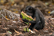 Crested Black Macaques (Macaca nigra)  feeding on coconut in Tangkoko Nature Reserve, northern Sulawesi, Indonesia.