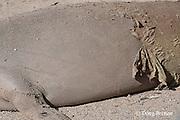 old fur peels off the side of a Hawaiian monk seal, Monachus schauinslandi, during annual molt, revealing a silvery coat of new fur underneath, Pu'uhonua o Honaunau ( City of Refuge ) National Historical Park, Kona, Hawaii ( the Big Island )