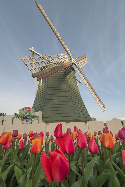 North America, United States, Washington, Mount Vernon, tulips in bloom and windmill at annual Skagit Valley Tulip Festival, held in April