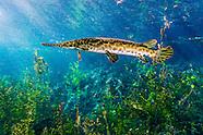 Spotted Gar, Underwater