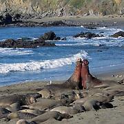 Northern Elephant Seal, (Mirounga angustirostris) Males fighting during mating season. California.